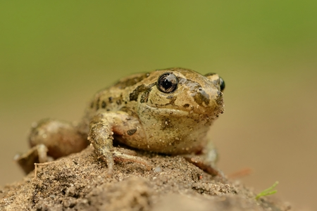 Frog Common Spadefoot - Pelobates fuscus sitting on the mud              Stock Photo