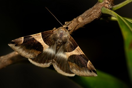 The Passenger (Dysgonia algira) in the night