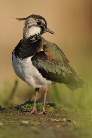 Northern Lapwing - Vanellus vanellus portrait stying in the water soon in the morning