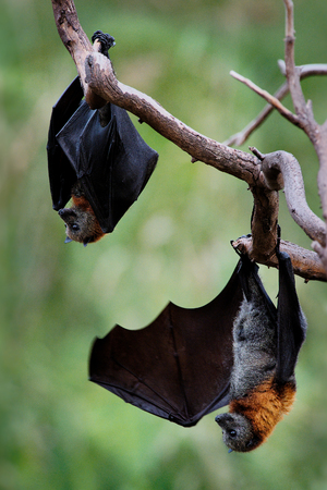 Pteropus poliocephalus - Gray-headed Flying Fox in the evening, fly away from day site, hang down on the branch
