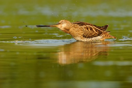 Common Snipe - Gallinago gallinago wader feeding in the green water, lake in the south or Moravia Stock Photo - 103535599