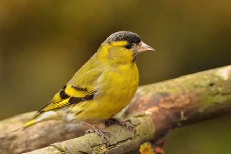 Eurasian Siskin - Spinus spinus sitting - female on the branch in the morning with the first sun beams (rays) 免版税图像