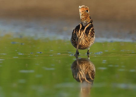 Common Snipe - Gallinago gallinago wader feeding in the green water, lake in the south or Moravia Stock Photo