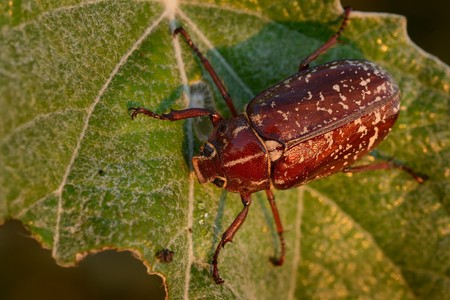 Polyphylla fullo - beetle in Hungary, Europe Stock Photo