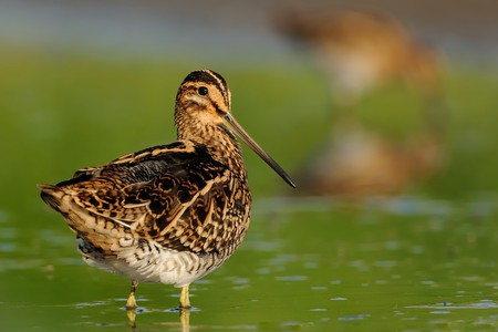 Common Snipe - Gallinago gallinago wader feeding in the green water, lake in the south or Moravia Stock Photo - 103534968