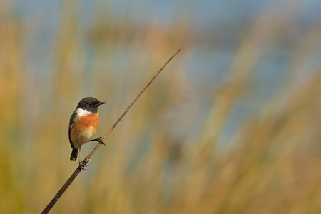 Stonechat (Saxicola torquatus) with colorful background. Zdjęcie Seryjne