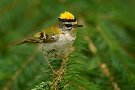 Firecrest - Regulus ignicapilla with yellow crest