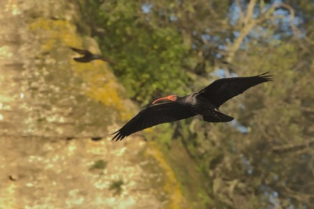 Bald Ibis - Waldrapp (Geronticus eremita) sitting on the rock in spain. In the background is yellow rock and blue sky. Black bird with pink skinny head and beak sits in the sandstone rock.