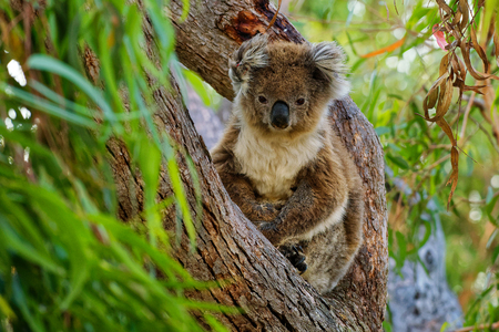 Koala - Phascolarctos cinereus on the tree in Australia, eating, climbing