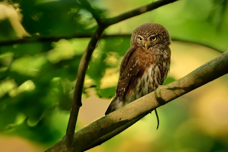 Eurasian Pygmy-Owl - Glaucidium passerinum sitting on the branch with the prey in the forest in summer.
