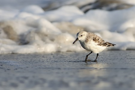 Sanderling (Calidris alba) running accross the beach with sea and waves in the background. Stock Photo - 103533767