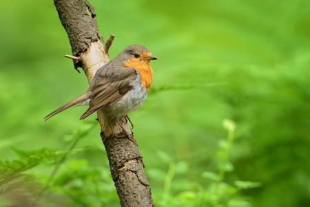 European Robin - Erithacus rubecula sitting on the branch, perching Stock Photo