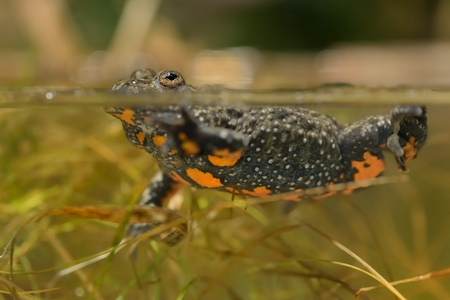 The European fire-bellied toad (Bombina bombina) captured close up in water