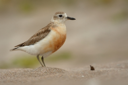 Charadrius obscurus aquilonius - New Zealand dotterel - tuturiwhatu on the beach in New Zealand