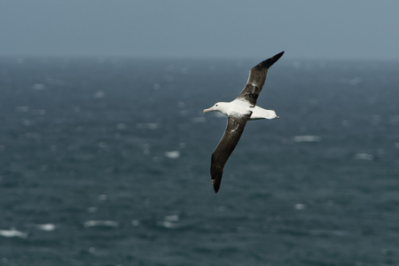 Diomedea epomophora - Southern Royal Albatross flying above the sea in New Zealand near Otago peninsula, South Island. Stock Photo