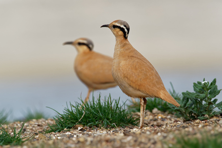 Cream-colored Courser (Cursorius cursor) in the sand desert on the seashore