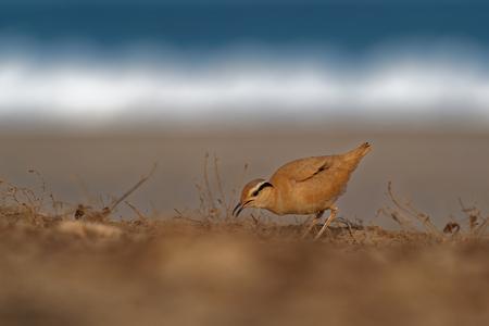 Cream-colored Courser (Cursorius cursor) in the sand desert on the seashore
