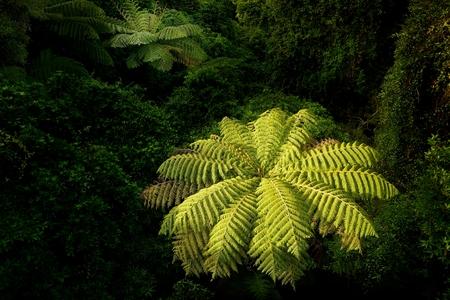 Landscape New Zealand - primeval green forest in New Zealand, tree ferns