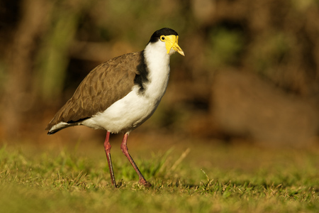Vanellus miles - Masked Lapwing, wader from Australia and New Zealand.