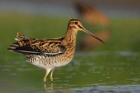 Common Snipe - Gallinago gallinago wader feeding in the green water, lake in the south or Moravia Stock Photo - 114304583