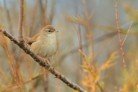 Cetti's Warbler (Cettia cetti) sitting on the branch with beautiful background.