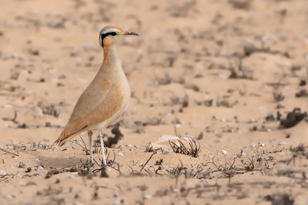 Cursorius cursor - Cream-colored Courser in the desert (semi-desert) of Fuerteventura (Canary Islands)