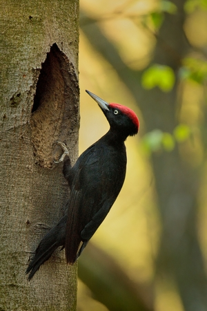 The male Black Woodpecker (Dryocopus martius) sitting on a tree trunk next to it's nesting hole.