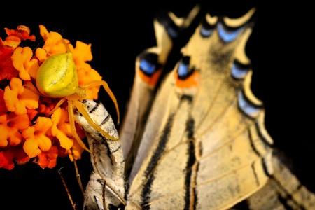 Spider (Thomisus onustus) with his butterfly prey Scarce Swallowtail (Iphiclides podalirius). Black background Stock Photo