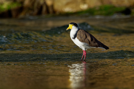 Vanellus miles - Masked Lapwing, wader from Australia and New Zealand
