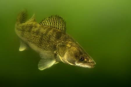 Sandre (Sander lucioperca) sous l'eau. Poisson carnivore aux nageoires marquées. capturé sous l'eau. Fond vert - vers le bas plus sombre que vers le haut.