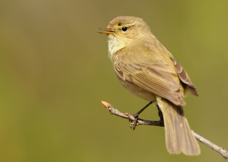 Common Chiffchaff (Phylloscopus collybita) sitting on the blooming branch with flowers, light (white and green) background, portrait