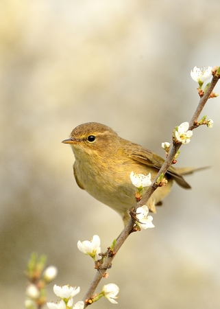 Common Chiffchaff (Phylloscopus collybita) sitting on the blooming branch with flowers, light (cream) background, portrait