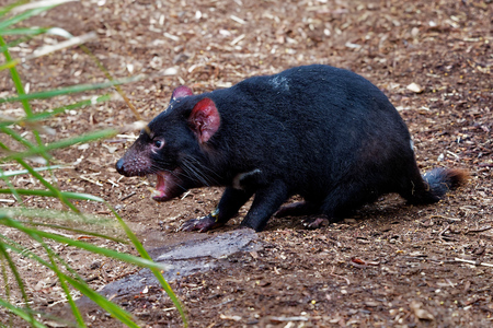 Sarcophilus harrisii - Tasmanian Devil in the night and day in Australia 免版税图像