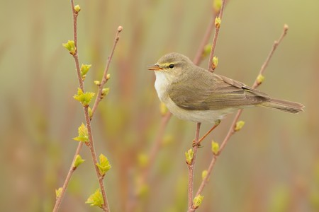 Willow Warbler (Phylloscopus trochilus) sitting on the willow. Little songbird in the scrub. Light spring. 스톡 콘텐츠