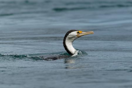 Great Pied Cormorant - Phalacrocorax varius fishing in the bay, in the water, ocean in Australia