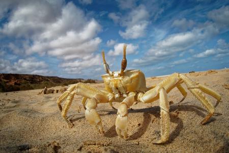 Crab - Ocypode cursor with his environment in Boa Vista, Cape Verde, Cabo Verde, Atlantic ocean.