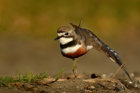 Charadrius bicinctus - Banded dotterel - tuturiwhatu on the beach in New Zealand jogging and stretching Stock Photo