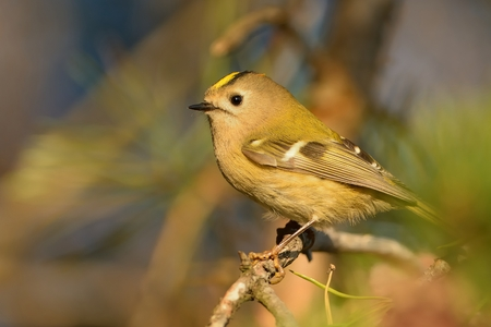 Goldcrest - Regulus regulus sitting on the branch