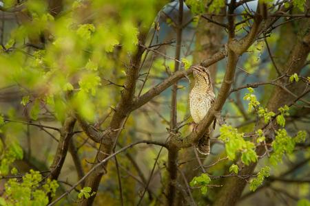 Wryneck euroasiático - Jynx torquilla sentada en la rama en el arbusto verde en primavera. Foto de archivo