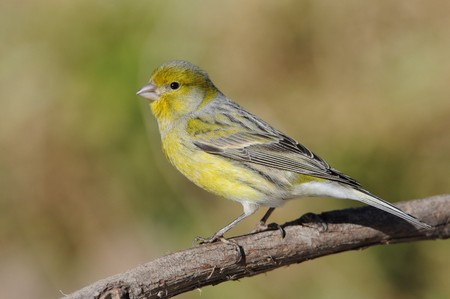 Island Canary - Serinus canaria on the branch in Tenerife, Canary Islands