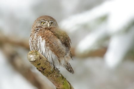 Eurasian Pygmy-Owl - Glaucidium passerinum sitting on the branch with the prey in the forest in winter with snow Standard-Bild - 114321806