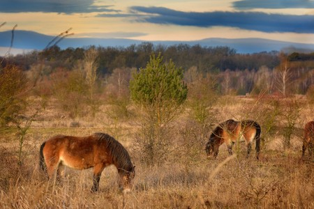 The wild horse (Equus ferus) in the steppe in the early morning enlightened by sunlight rays. View on a horse pasturing in the steppe in czech Milovice. Yellow grassland, beautiful brown horse. Banque d'images