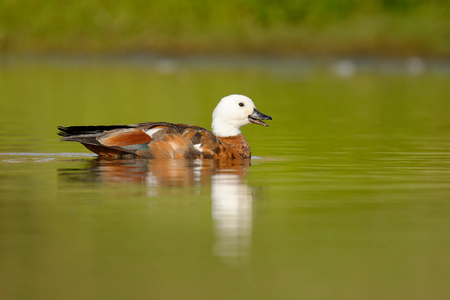 Paradise Shelduck - Tadorna variegata - putangitangi in the water in New Zealand. 版權商用圖片