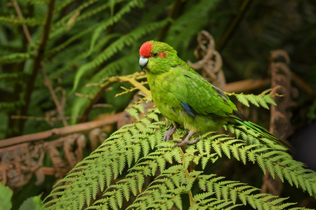 Red-fronted Parakeet - kakariki - Cyanoramphus novaezelandiae endemic bird sitting on the typical new zealand fern. Stok Fotoğraf - 114322320