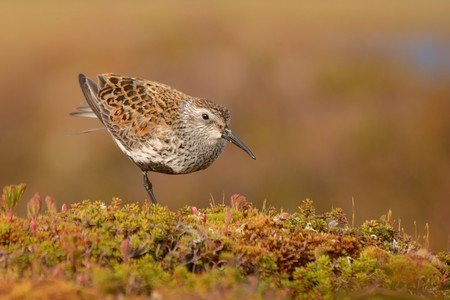 Dunlin (Calidris alpina) in the evening from Norway. Stock Photo