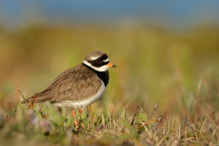Charadrius hiaticula - Common Ringed Plover on the ground