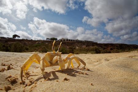 Crab - Ocypode cursor with his environment in Boa Vista, Cape Verde, Cabo Verde, Atlantic ocean. Stock Photo