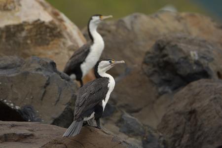Two Pied Shags (Phalacrocorax varius) sitting on the rock near the sea. Stock Photo
