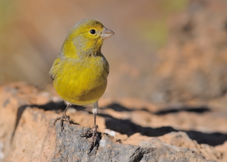 Island Canary - Serinus canaria on the rock in Tenerife, Canary Islands