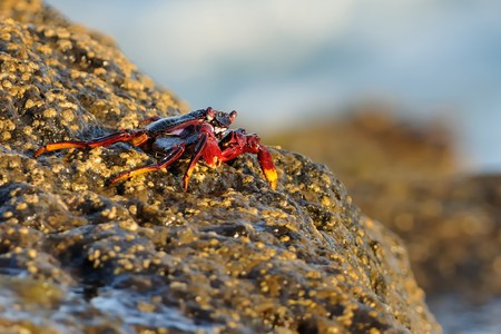 Krab - Grapsus adscensionis on Tenerife, Canary Islands